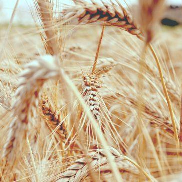 GRANO TRITORDEUM: una felice combinazione di grano duro e orzo selvatico